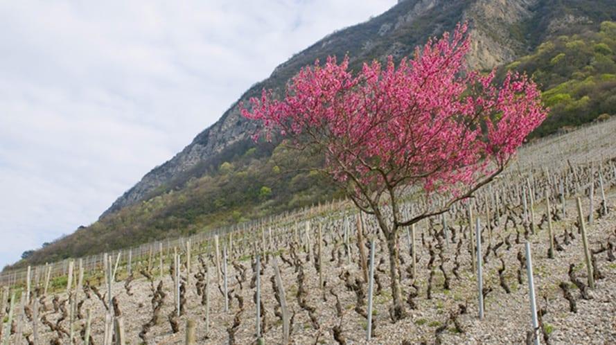 vigneron-quenard-savoie